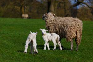 sheep_and_lambs_196165