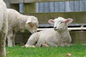 sheep_lamb_new_zealand